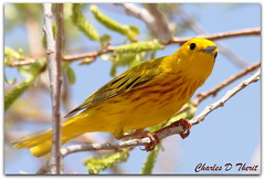 Yellow Warbler (ctofcsco) Tags: usa bird nature yellow america canon colorado unitedstates bokeh wildlife united explore telephoto ii springs coloradosprings co northamerica states usm teleconverter warbler extender 400mm 14x f28l 50d extenderef14xii ef14x ef400mm ef400mmf28liiusm