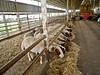Herd of improved sheep breed