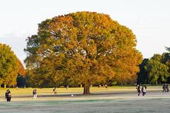 syouwakinenn-21 (lookworld) Tags: autumn fall leaves japan      defoliation fourseasons