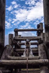 Traveling dog in Hakone (Yorkey&Rin) Tags: park dog japan july bluesky olympus kanagawa hakone rin miniatureschnauzer  2016    sengokubara em5   olympusmzuikodigitaled1250f3563ez t7141437