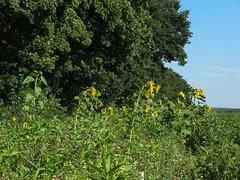 ckuchem-3271 (christine_kuchem) Tags: ackerrand bienenfreund bienenweide blumen blhstreifen feld felder klee landwirtschaft phacelia schmetterlingsbltler sonnenblume sonnenblumenfeld vogelschutz wiesenblume