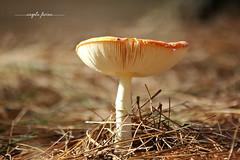 cogumelo2 (angelafarina) Tags: cogumelo fungo natureza macro