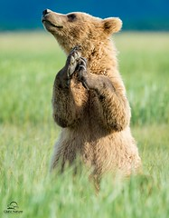 Expressive Brown Bear (Glatz Nature Photography) Tags: alaska bear brownbear grizzlybear hallobay katmainationalpark nature summer ursusarctos wildanimal wildlife coastalbrownbear happy clapping paws smell senseofsmell scenting claws expression specanimal