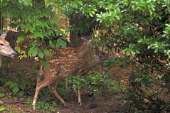 Jut passing through (holdit.) Tags: mammal deer whitetail whitetaileddeer odocoileusvirginianus foraging twins