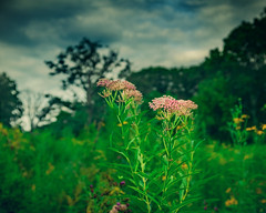 swamp milkweed before a storm (amy buxton) Tags: botanical flowers forestpark fujifilmx100s landscape milkweed milkweedswampasclepiasincarnata natural nature plants prairie savanna stlouis summer vegetation