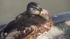 Duck (katieMai) Tags: duck animal animals water lake tarn summer photography closeup detail pretty