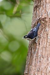 ... Blue Nuthatch,  ... (liewwk - www.liewwkphoto.com) Tags: bluenuthatch  sittaazurea sittidae    bird malayisa forest jungle malaysiabird asia liewwk canon     malaysiabirdtour malaysiabirdphotographytour malaysiabirdwatchtour  endemicguides