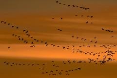 Dawn Fly-in (Patty Bauchman) Tags: snowgeese snowgeesemigration birdmigration flyingsnowgeese freezeoutlake montana fairfieldmontana dawn sunrise earlymorning nature wildlife