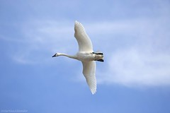 Tundra Swan AP (martinaschneider) Tags: swan tundraswan flight flying bird birds aylmer ontario spring bluesky