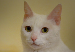 blancat (guvi2008) Tags: gata gatitos mascotas