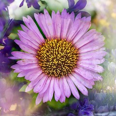 Michaelmas Daisy (rustyruth1959) Tags: photolab ipad overlay texture pastel nature creative petals bloom plant flower nikkor nikond3200 nikon