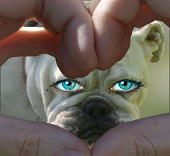 Finger Heart (swong95765) Tags: bulldog dog bokeh cute expression eyes look nose see white emotionalize emotion emote