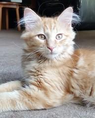 Yakov (DDA1) Tags: saveapetilorg adoption adoptionshelter adoptioncenter adoptable adopt kitten longhair orangetabby handsome love foster purr