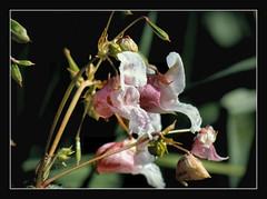 drsiges Springkraut (karin_b1966) Tags: blume flower blte blossom pflanze plant wildblume wildflower schlossparkbiebrichwiesbaden 2016 drsigesspringkraut yourbestoftoday
