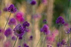 tableau floral (Denis Vandewalle) Tags: flowers fleurs nature macro macrophotography bokeh flou