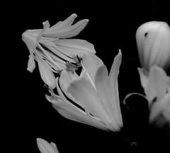 Monochrome (alexp2017) Tags: agapanthus