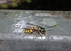 Stingy (Bricheno) Tags: glasgow bricheno schottland szkocja scotland scozia escocia esccia cosse scoia    bug insect macro wasp
