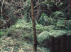 Mount Dandenong (Matthew Paul Argall) Tags: ferntree plant plants mountdandenong yarraranges leaves greenleaves kodakstylelite lomographyfilm 110 110film fixedfocus forest