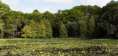 Cypress Trees and Water Lillies (Thomas Gremaud) Tags: trees evergreen waterlillies urbannaturepreserve green landscape cypress johnchesnutpark outdoor