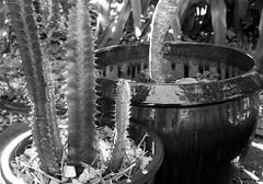 Euphorbia en noir et Blanc (YAZMDG (16,000 images)) Tags: noiretblanc mono monochrome monochromatic blackandwhite bw nb euphorbia cactus succulent planters spiky nature spikes
