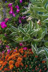 _DSC0121 (johnjmurphyiii) Tags: 06416 connecticut cromwell hillside originalnef scovill summer tamron18270 usa bracket flowers johnjmurphyiii