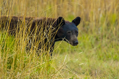 bear3Aug14-16 (divindk) Tags: albeecreekcampground california commonname humboldtredwoods other places scientificname unitedstates ursusamericanus weott bear blackbear camping grass