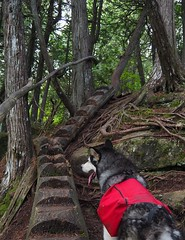 Spur to Agnes (Devthor) Tags: sht superiorhikingtrail malamute lilu dog backpacking outdoor forest north shore lake superior minnesota hiking