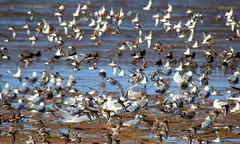 Hoylake Shore (Cal Killikelly) Tags: waders high tide hoylake shore wirral north west wildlife nature conservation dunlin sanderling gull ringed plover beach water bluebrown movement wings flight seabirds