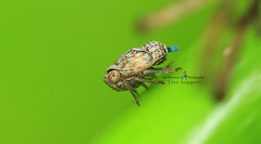 IMG_0091 Tree hoppers (EricBronson's Photography) Tags: treehoppers nature