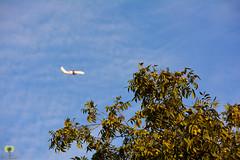 Un noyer charg de noix (Ath Salem) Tags: walnut tree noyer noix algrie algria  nature faune flore oiseau bird figuier zoom macro  nikon d5200 55200mm