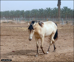 The Shy Horse (Yotvata, Israel) (Zachi Evenor) Tags: zachievenor israel yotvata horse horses equusferuscaballus equuscaballuscaballus equus ferus caballus kibbutz stables