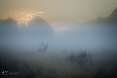Autumn Mist (4orty7even) Tags: england fall landscape martingriffett october richmondpark surrey uk wildlife xt1201610111277 antlers autumn buck countryside dawn deer fallowdeer mammal morning nature outside silhouette sunrise