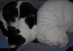 Two cats sleeping (sandraarrell) Tags: cats springwood nsw september 2016 sandraarrell