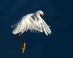 A Flying Jump (Patricia Ware) Tags: ballonawetlands birdsinflight california canon ef400mmf56lusm egrettathula playadelrey snowyegret ©2016patriciawareallrightsreserved marinadelrey unitedstates us specanimal