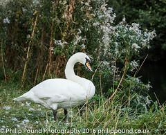Mute Swan (Philip Pound Photography) Tags: wildlife nature londonwildlifetrust stokenewington hackney swan mute muteswan bird waterfowl wildfowl beak orange head feathers