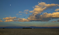 down on the farm (eDDie_TK) Tags: colorado co weldcountyco weldcounty larimercountyco larimercounty frontrange frontrangeco farms farming rural rurallife ruralliving canadageese geese waningmoon moon