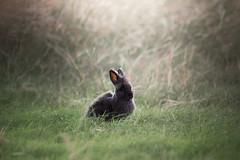 Ridiculously Photogenic Bunny (Dynamutt) Tags: lionhead rabbit bunny