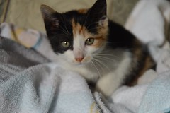 Ariela The Calico Kitten (Sapphire Dream Photography) Tags: cat cats felines domesticcat domesticcats kitten kittens kitty kitties pet pets animal animals feliscatus domestic sleeping snooze eye eyes rescue rescues stray strays homeless playful cute adorable babyanimals calico
