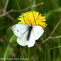 Piride du navet femelle_Pieris napi (nicphor) Tags: rhopalocres pieride papillon insecte nature faune flore fleurs blanc jaune