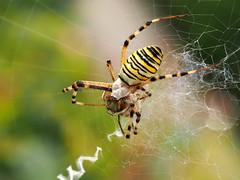 Argiope... (quarzonero ...Aldo A...) Tags: spider argiope nature sunrays5 coth