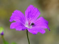 Beautiful purple flower (marco25810) Tags: beautiful purple flower lawn nature fly macro blossom blte fliege makro wiese