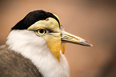 Masked Lapwing 3-0 F LR 9-25-16 J130 (sunspotimages) Tags: birds bird maskedlapwing nature wildlife zoos zoo zoosofnorthamerica