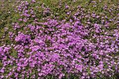 DSC_0521_2048 (a.marquespics) Tags: corderosa pink pinkovergreen green canteiro nikon d610 50mmf14