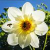 Bees-00719 (Erik Norder) Tags: 2011 christchurch flowers sonyalpha550 beeinflight flower