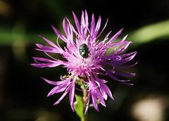 Bug on Wild Flower (Hugo von Schreck) Tags: hugovonschreck wildflower wildblume kfer bug macro makro insect insekt outdoor canoneos5dsr tamron28300mmf3563divcpzda010