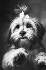 (Jonathan Minto) Tags: dog puppy cute hair bow portrait blackandwhite sheffield jonathanminto photography face paws nose eyes beautiful ngc canon5dmkii canon50mmeflens travel nature