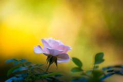 Summer Meets Autumn (paulapics2) Tags: rose pink floral flora blumen fleur pretty autumn fall seasons rosa garden nature canoneos5dmarkiii canonef70300mm golden bright leaves orange