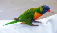 Rainbow Lorikeet (Scottmh) Tags: 2016 australia nikon d7100 heads holiday noosa queensland spring travel