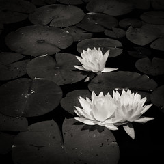 Biltmore Lily Pads (NitaAnn D) Tags: nikon d800 bw blackandwhite biltmore northcarolina lily lilypads water