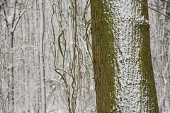 ckuchem-1645 (christine_kuchem) Tags: baumrinde buche bume eiche eis frost hainbuche natur pfad pflanzen ruhe samen spuren stille struktur wald weg wildpflanzen winter einsam kalt schnee ste